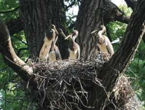 В «Брянском лесу» пересчитали гнёзда чёрных аистов