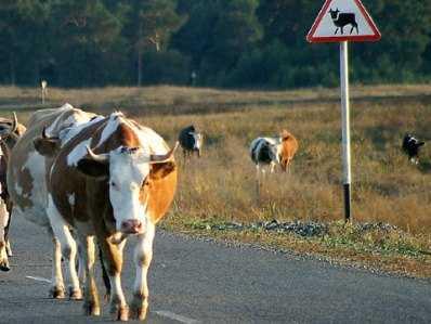 Под Брянском 15-летний мопедист врезался в корову