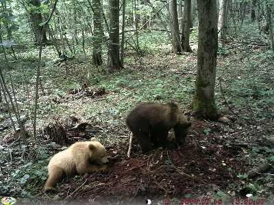 В брянском лесу обнаружили медвежонка – «блондинку»