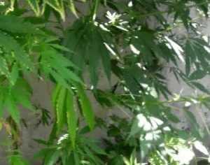 Брянца взяли за хранение 6 килограммов наркотиков