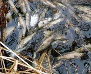 В брянском поселке Лопандино отравили озеро – рыбу вывозят мешками