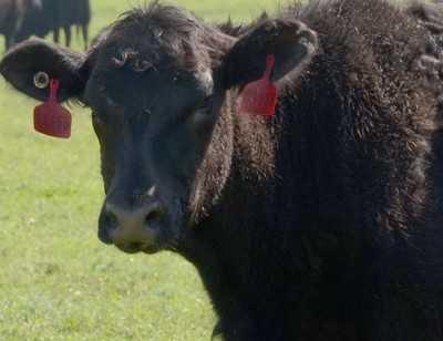 «Мираторгу» запретили вывозить калиниградских быков в Брянск