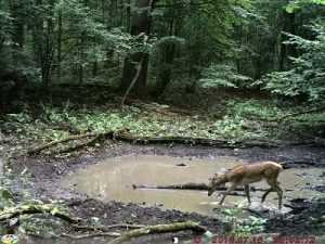 В «Брянском лесу» звери  устроили себе «курортную зону»