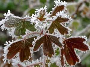 В Брянскую область придут заморозки