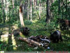 Медведица родила тройню в заповеднике  «Брянский лес»