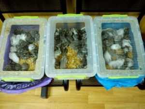 Из Брянска на Украину вернули 90 хомяков-нелегалов