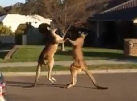 Трезвые кенгуру подрались
