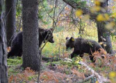 В заповедник «Брянский лес» привезли тверских медвежат