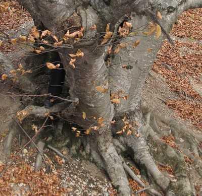 В Крыму нашли два дерева, которым больше 2000 лет