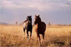 В Россию с территории Украины перегоняют лошадей