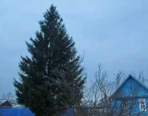 Главную елку Брянска установят 15 декабря