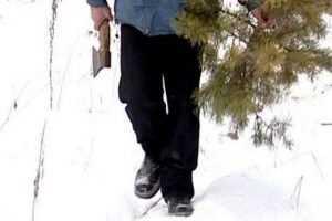 Перед Новым годом лесные патрули защитят брянские ели от варваров