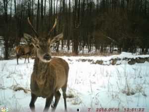 В «Брянском лесу» звери проложили себе новую тропу