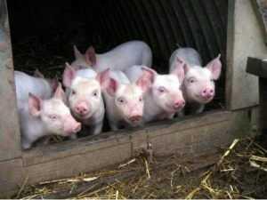В Севском районе Брянской области нашли африканскую чуму свиней