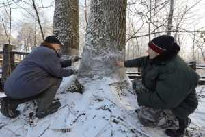 В «Брянском лесу» спасли от бобров вековые дубы