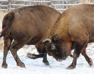 Новоприбывшие зубрицы дали первый бой в заповеднике «Брянский лес»