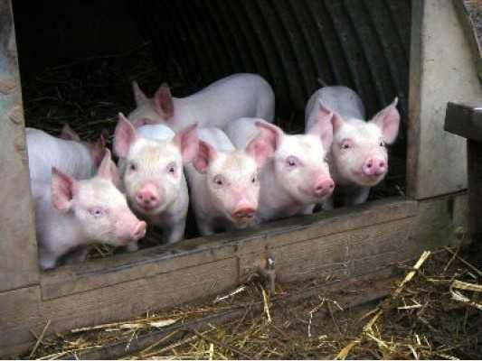 Брянских свиней запретили ввозить на рязанскую землю