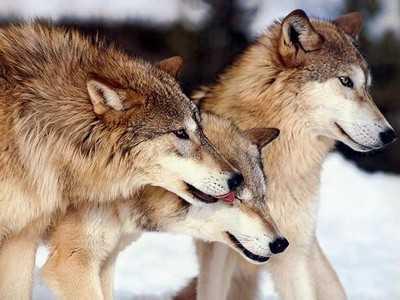 Брянские волки и лисицы сошли с ума от пастбищ
