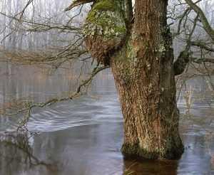 Древний дуб близ брянской реки Неруссы превратится в коряги