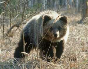 В заповеднике «Брянский лес» проснулись медведи