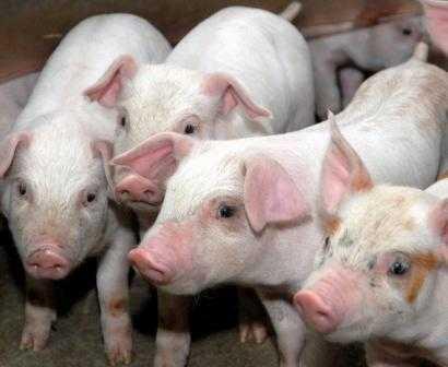Брянская компания стала крупным российским производителем свинины