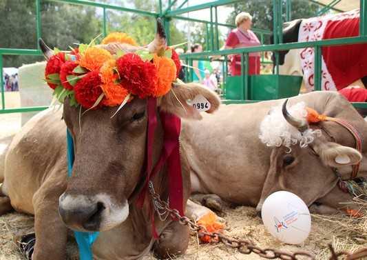 В Брянске белорусские коровы превратились в свиней