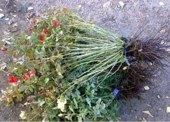 Брянцы вернули Украине саженцы роз