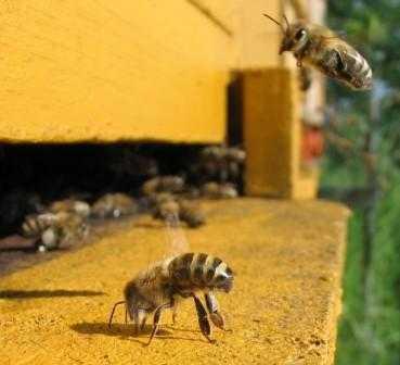 Брянских пчел вылечат