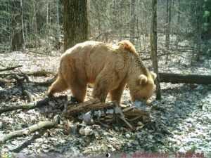 В фотоловушку «Брянского леса» попал старейший медведь заповедника