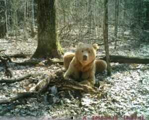 Медведя-блондина из «Брянского леса» назвали Арсением