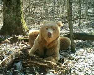 Прозвище брянскому необычному медведю придумает народ