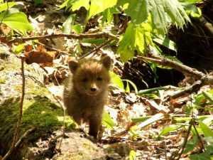 За лисятами из «Брянского леса» будут следить москвичи