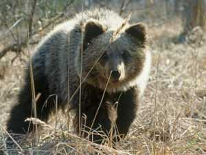 К Брянску подобрался медведь