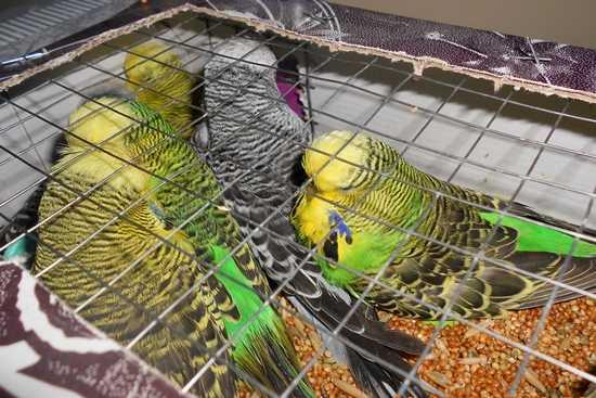 Брянские таможенники вернули на Украину 7 попугаев