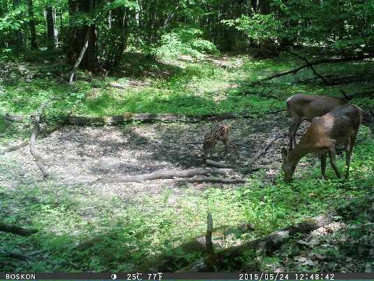 Фотоловушка «поймала» оленёнка в «Брянском лесу»
