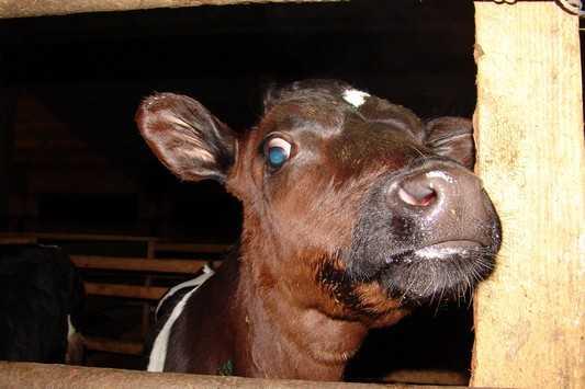 От каждой брянской буренки возьмут по 12 тонн молока в год