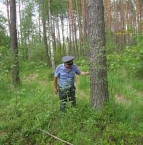 Черные усачи продолжают вредить брянском лесу