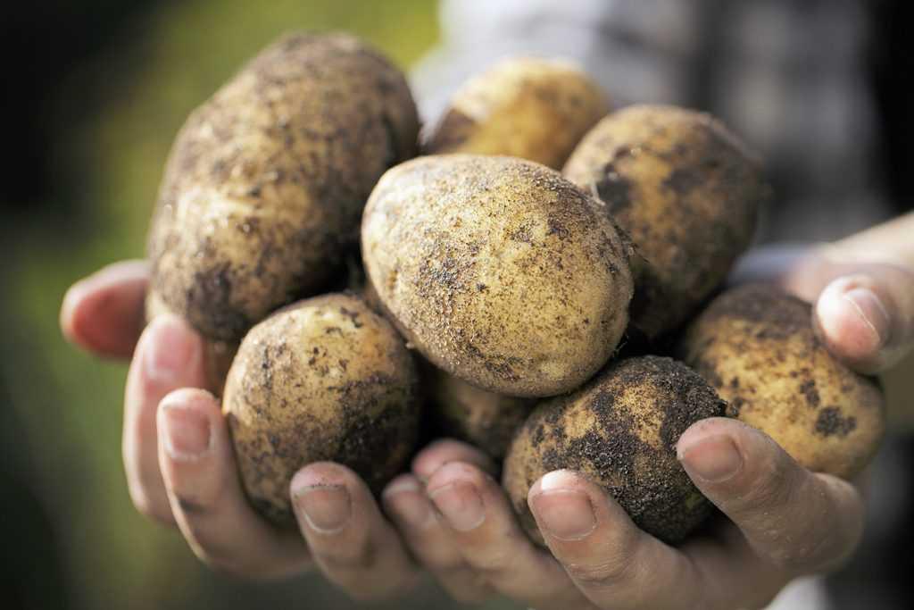 Брянским крестьянам расскажут о выращивании чудо-картофеля