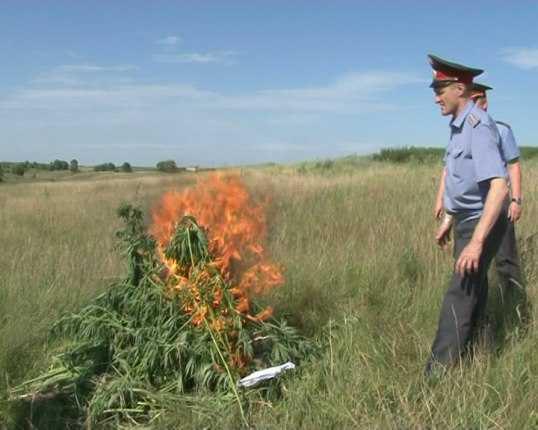 Брянские полицейские сожгли 150 кустов конопли