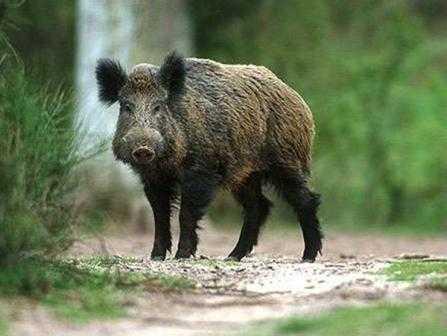 В Брянской области выявили больного кабана