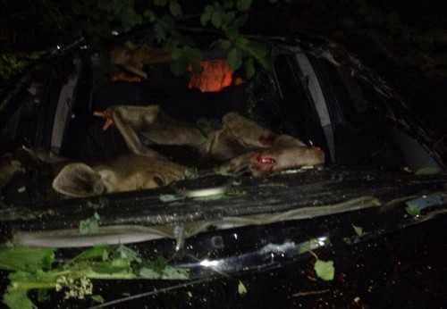 Сбитого лося забросило в салон автомобиля