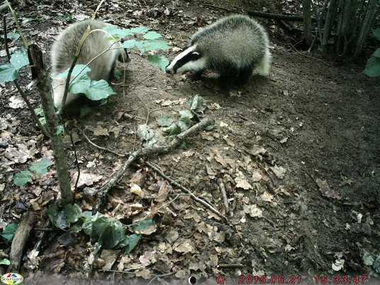 В «Брянском лесу» обнаружили барсучий городок