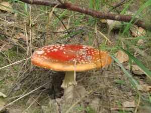Медики предупредили брянцев об опасности отравления грибами