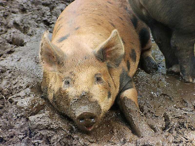 В запрете на поставки свинины Белоруссия помиловала Брянск