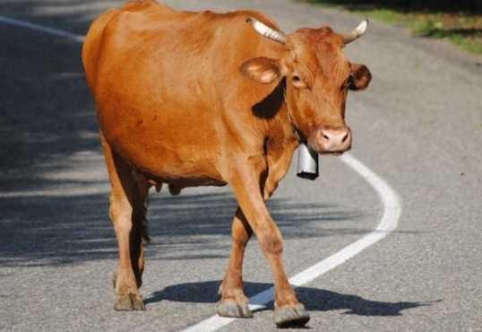 Под Брянском юный водитель погиб, врезавшись в корову