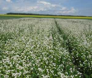 Брянские хозяйства могут потерять часть урожая
