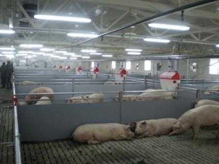 Свиноводческий комплекс под Брянском попал в зону риска
