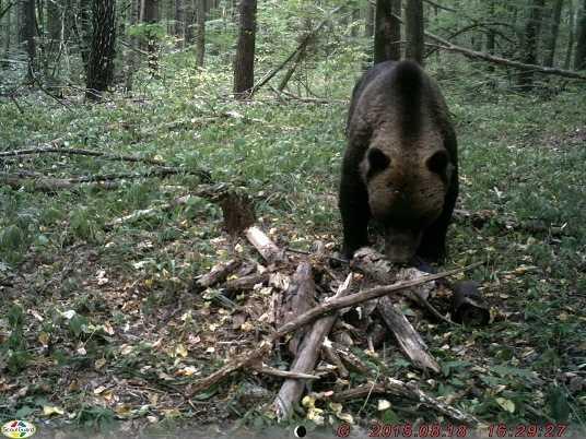 Медведи и кабаны покинули «Брянский лес» из-за жары