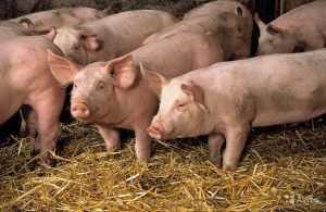 Брянские специалисты назвали каналы распространения чумы свиней