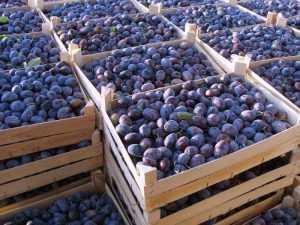 Брянские специалисты вернули фрукты в Сербию